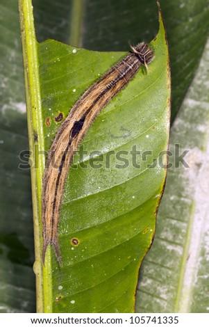Owl butterfly (Caligo sp.) larva, feeding on a Heliconia leaf in rainforest, Ecuador - stock photo
