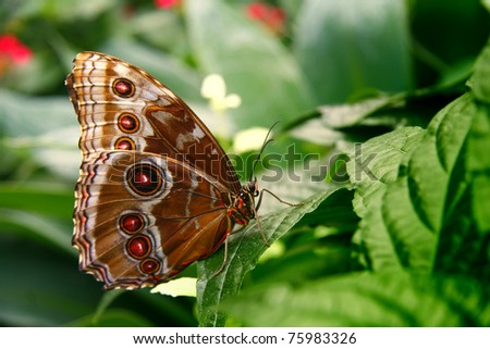 Owl Butterfly (Heliconius hecale) perched on a leaf. - stock photo