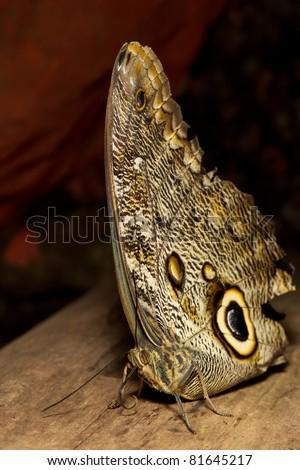 owl butterfly (lat. caligo eurilochus) resting on a branch - stock photo