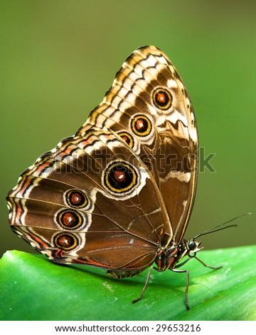 owl butterfly (lat. caligo eurilochus) resting on a green leaf - stock photo