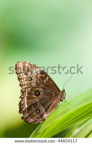 owl butterfly (lat. caligo eurilochus) resting on a green leaf with copy space - stock photo