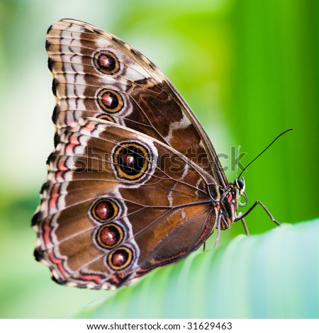 owl butterfly (lat. caligo eurilochus) with green background - stock photo