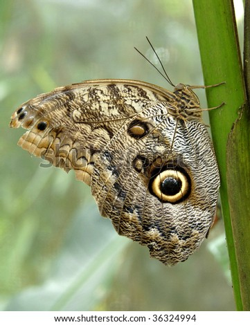 owl butterfly showing off wing defensive markings on leaf - stock photo