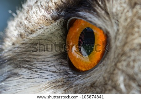 owl eagle eye close up from side - stock photo