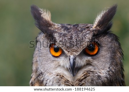 owl eagle in detail - stock photo