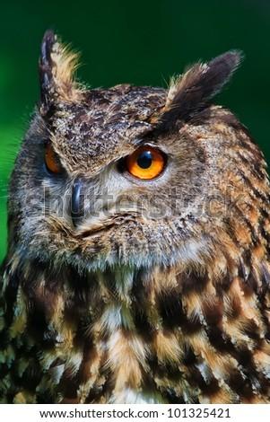 owl eagle in profile - stock photo