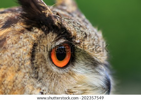 owl eagle very close up with with shallow depth of field - stock photo