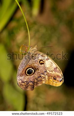 Owl Eye Butterfly - stock photo