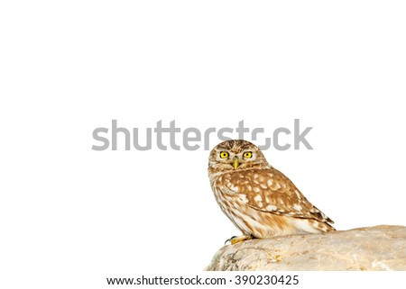 owl isolated  Little Owl / Athene noctua