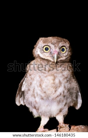 Owl isolated on Black - stock photo