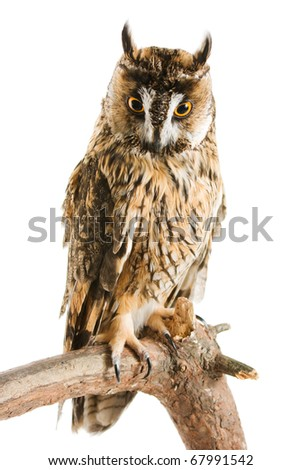 owl isolated on the white background - stock photo