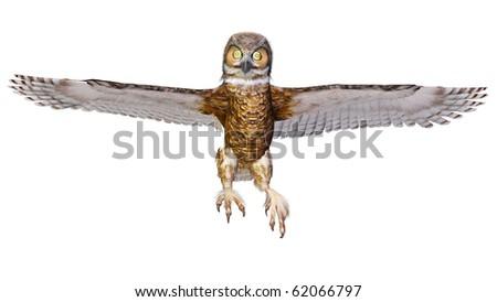 owl landing - stock photo