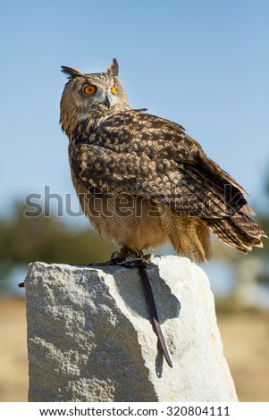 Owl looking out into the wild while standing on a rock - stock photo
