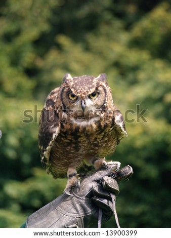 owl on falconer glove