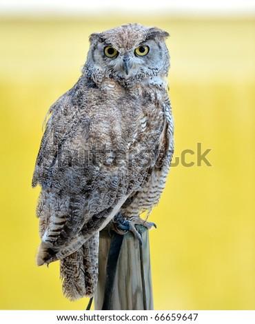 owl outdoor - stock photo