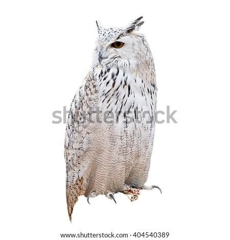 Owl over white background - stock photo