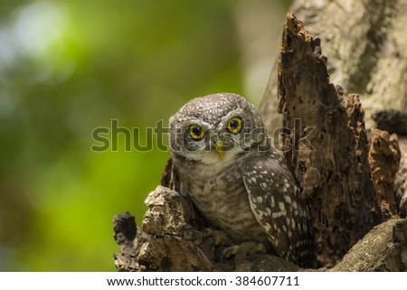 owl perched in a tree staring with golden eyes. - stock photo