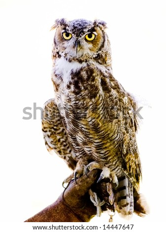 Owl perched on glove, white background - stock photo