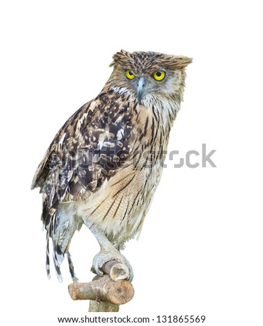 owl perching on branch isolated on white background - stock photo