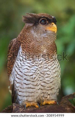 Owl portrait, close up of funny face - stock photo