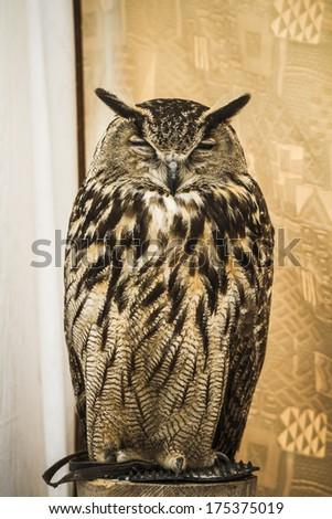 Owl portrait, golden owl, wildlife concept - stock photo