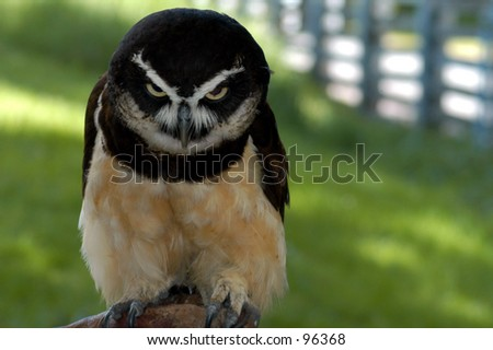 Owl's intense look - stock photo