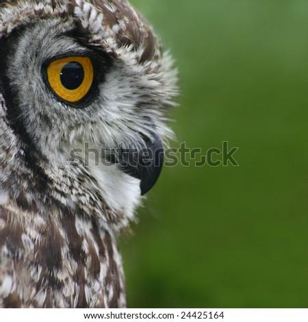 Owl stare - stock photo