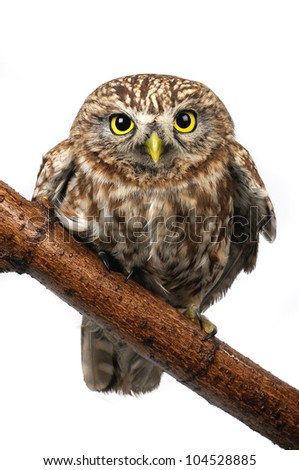 owl the isolated sitting on a branch - stock photo