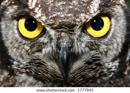 Owl with big yellow eyes - stock photo