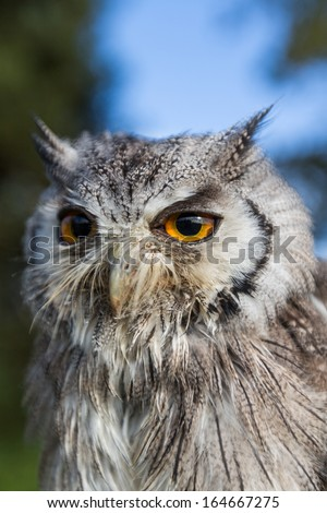 Owl with bright eyes
