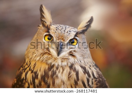 Owl with yellow eyes and warm background in Spain. Horizontal - stock photo