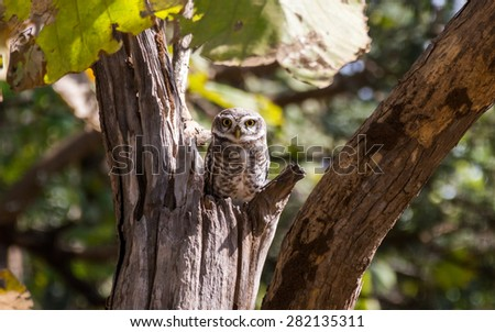 Owl with yellow eyes in Gir forest in Gujarat, India - stock photo