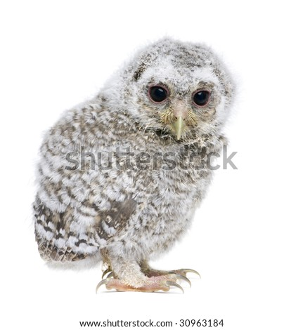 owlet - Athene noctua (4 weeks old) in front of a white background - stock photo