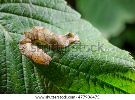 owlet moth caterpillar