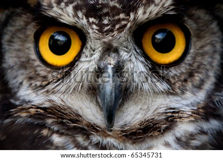 Owls are the order Strigiformes, constituting 200 extant bird of prey species. Most are solitary and nocturnal - stock photo