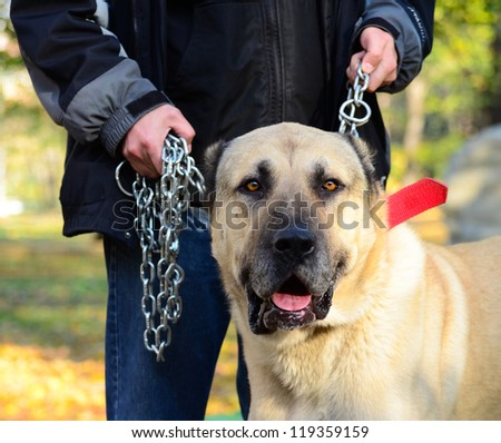 Owner holding big dog on chains - stock photo