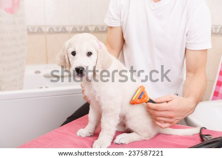 Owner is combing out the fur of retriever puppy after shower