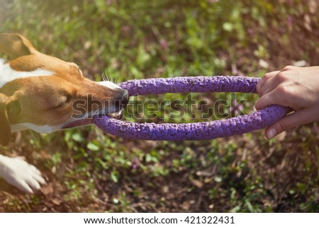 Owner playing with little Jack Russell puppy with toy in teeth. Location is green park. Cute small domestic dog, good friend for a family and kids. Friendly and playful canine breed - stock photo
