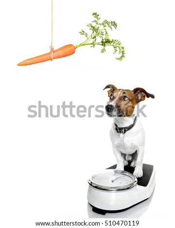 owner punishing dog with carrot  for overweight, and to loose weight , standing on a scale, isolated on white background