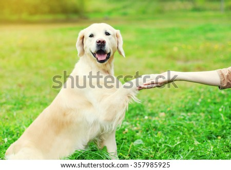 Owner training Golden Retriever dog on grass, giving paw - stock photo