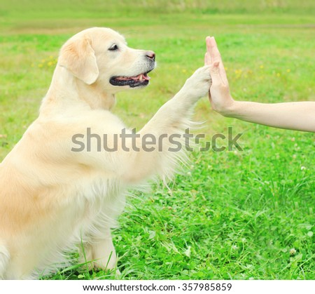 Owner training Golden Retriever dog on grass in park, giving paw - stock photo