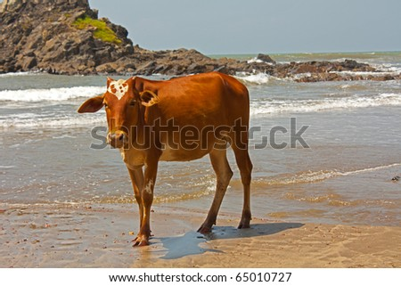 ox at the shore  of goa in india - stock photo