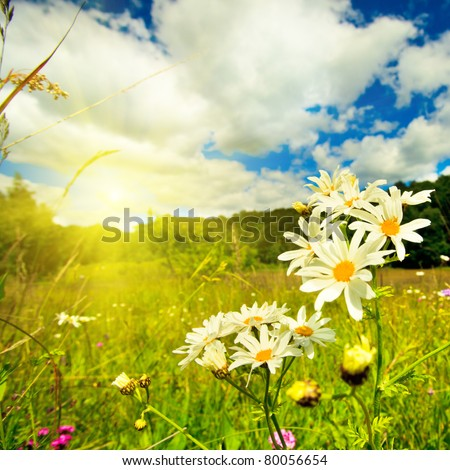Ox-eye daisies in the meadow and deep blue sky lanscape - stock photo