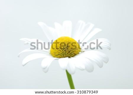 Ox eye daisy   - stock photo