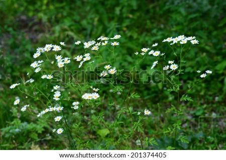 Ox-eye daisy (Leucanthemum vulgare) - stock photo