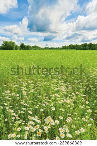 Ox-eye daisy (oxeye daisy, Leucanthemum vulgare) - stock photo