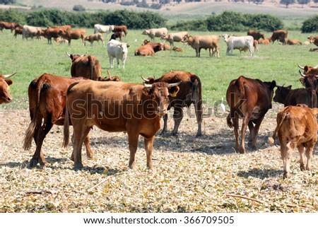 ox in the nature - stock photo