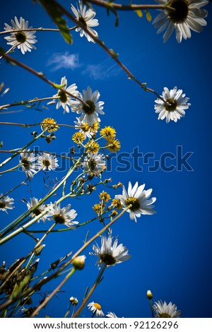 Oxeye daisies reach up to a blue sky - stock photo