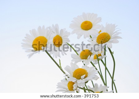 oxeye daisies with sky background - stock photo