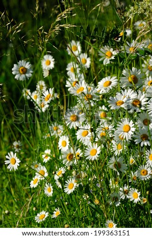 Oxeye daisy (Leucanthemum vulgare) flowers in green grass - stock photo